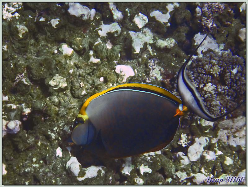 Licorne indienne à épines orange ou Nason bariolé ou Nasique à éperons orange (Naso elegans) - Anse Takamaka - Mahé - Seychelles