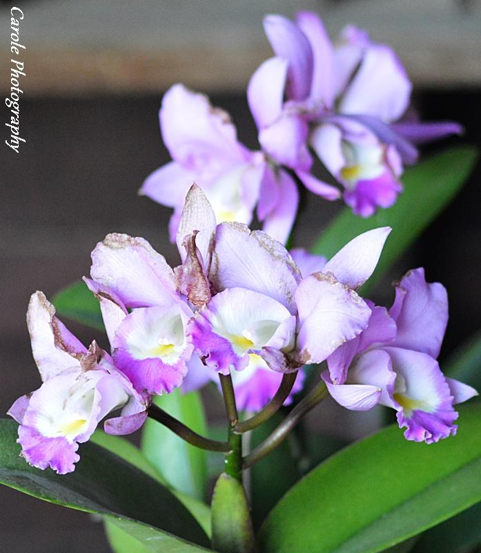 Les orchidées à l' honneur à Pairi Daiza ( Saison 2018 )