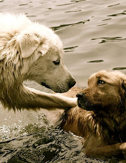 Nos Goldens adorent l'eau
