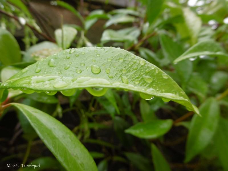 Des gouttes d'eau sur mon jasmin étoilé, le 10 mai...