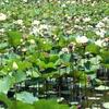 ile-maurice-jardin-de-pamplemousses-nenuphars.jpg