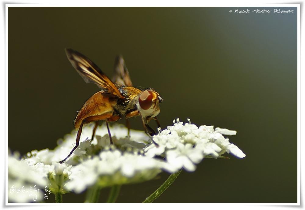 Tachinaire Alophora hemiptera ♀