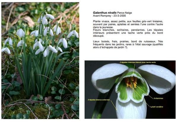 Les fleurs sauvages  printanières du Châtillonnais...