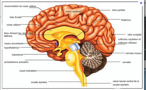 Images du cerveau