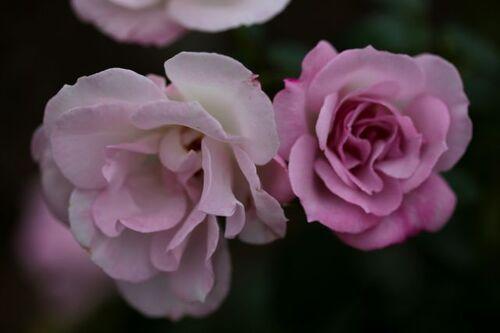 Les Roses de Warren : Cool as Ice