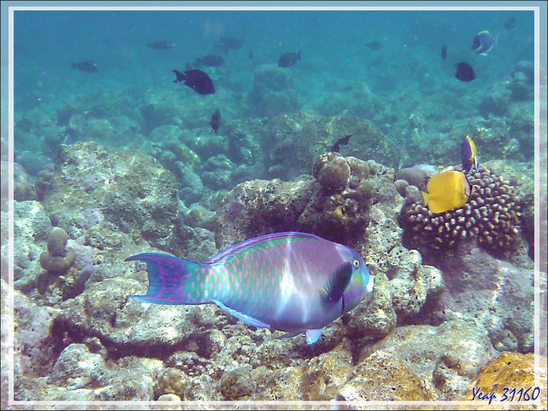 Snorkeling : Poissons-perroquets - Moofushi - Atoll d'Ari - Maldives