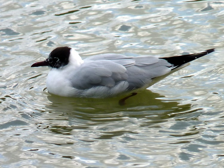 Mouette rieuse nuptiale