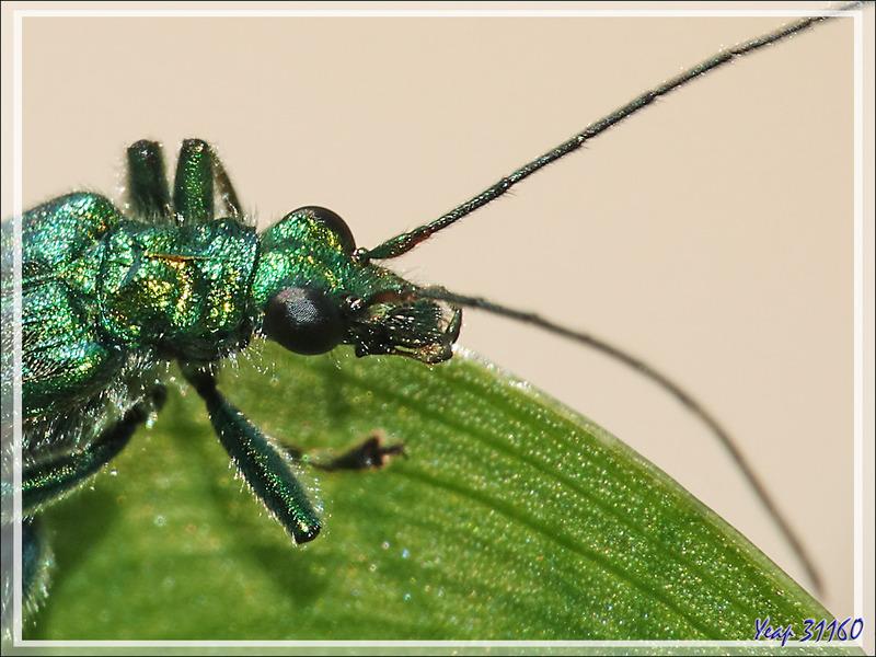 """Oedémère noble mâle (oedemera nobilis) que je surnomme """"Jojo grosses cuisses"""" - Lartigau - Milhas - 31"""