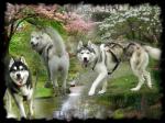 mes husky