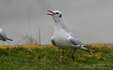 Mouette rieuse - p346