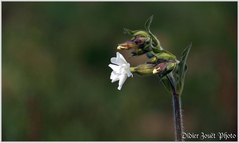 Compagnon Blanc / Silene latifolia