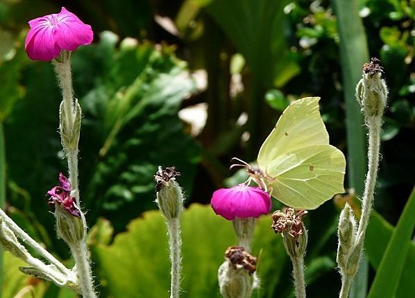 Papillon-Citron--01-07-10-005.jpg
