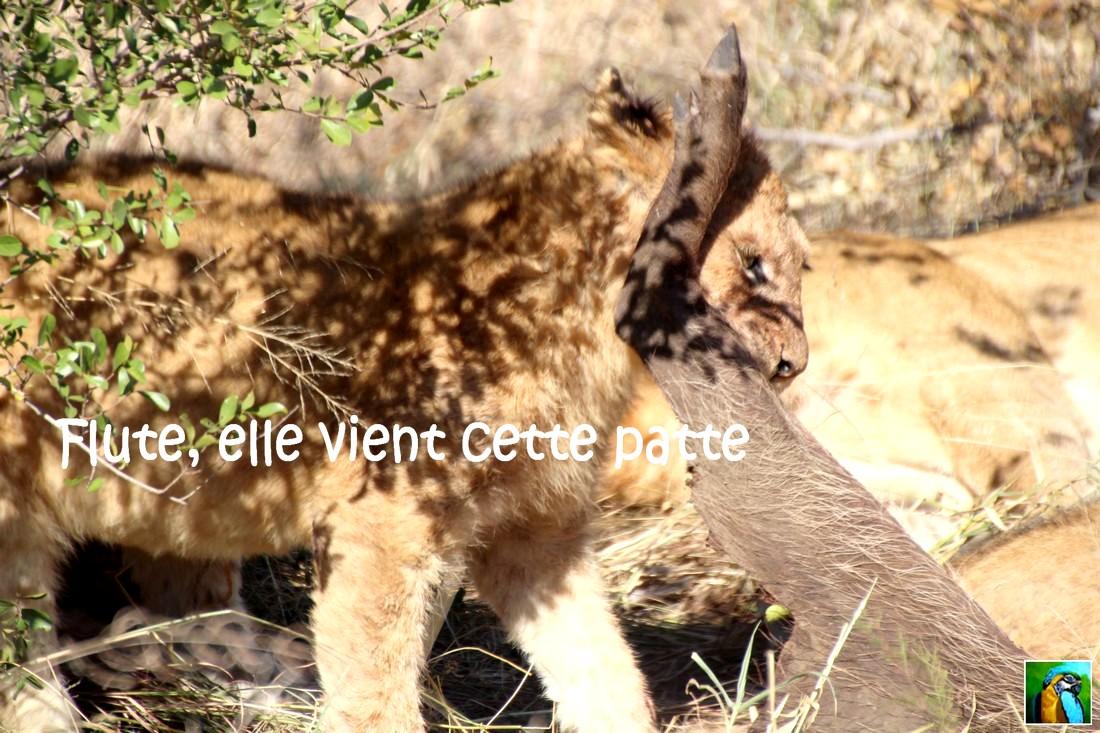 AFRIQUE du SUD:juin 2018:Safari, qu'allons-nous découvrir ?