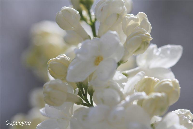 blanc 7385