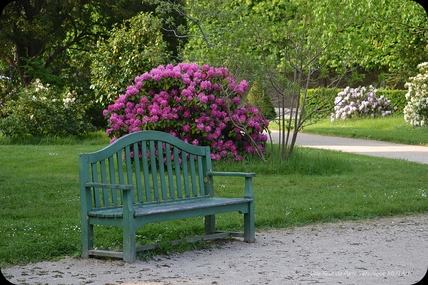 Rambouillet : Les derniers Rhododendrons