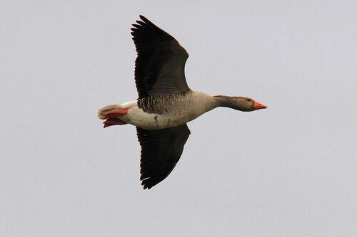Oie Cendrée (Greylag Goose)