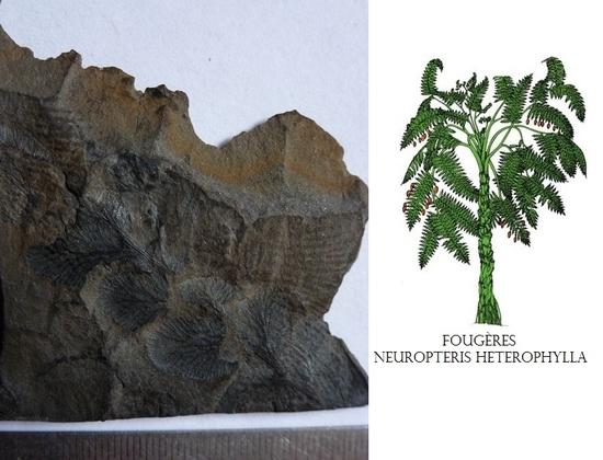 A. 95 neuropteris