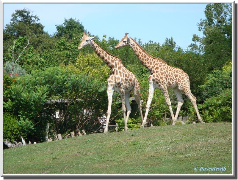 Girafes3