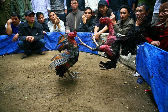 Les combats de coqs