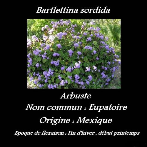 Bartlettina sordida