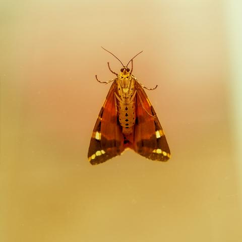 La danse du papillon ...