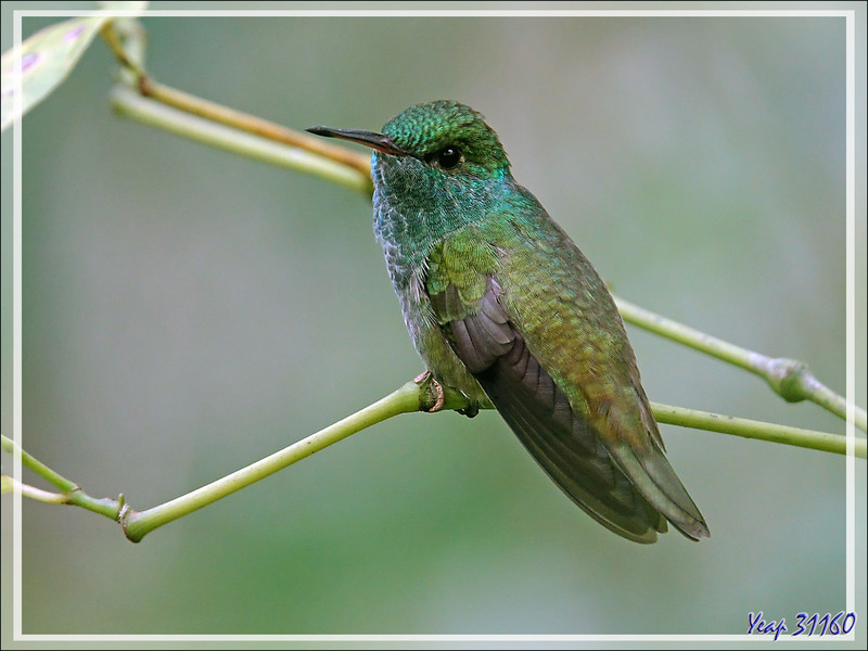 Sous réserve : Colibri Ariane de Linné, Glittering-throated Emerald (Amazilia fimbriata) - Parque das Aves - Foz do Iguaçu - Brésil