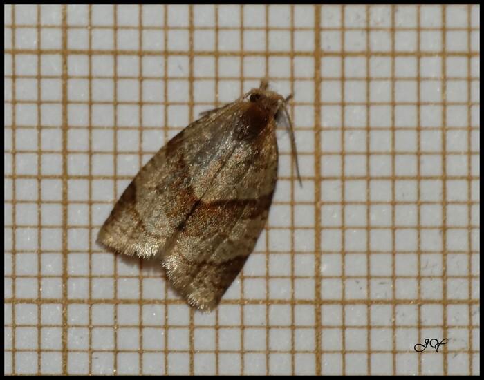 Clepsis rurinana.