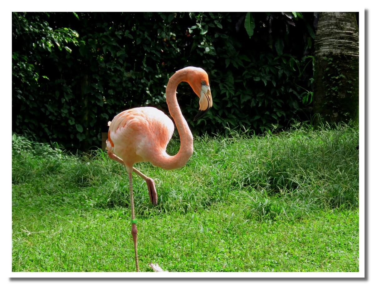 Les flamants rose du jardin botanique de Deshaies