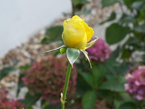 fleurs007