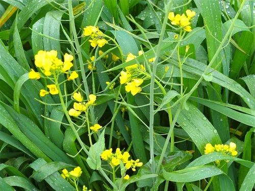 la fleur de moutarde
