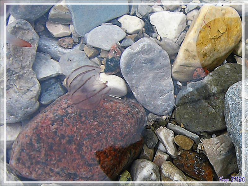Autres animalcules marins de type Cténophore (Ctenophora) - Qariaragiuk - Somerset Island - Nunavut - Canada