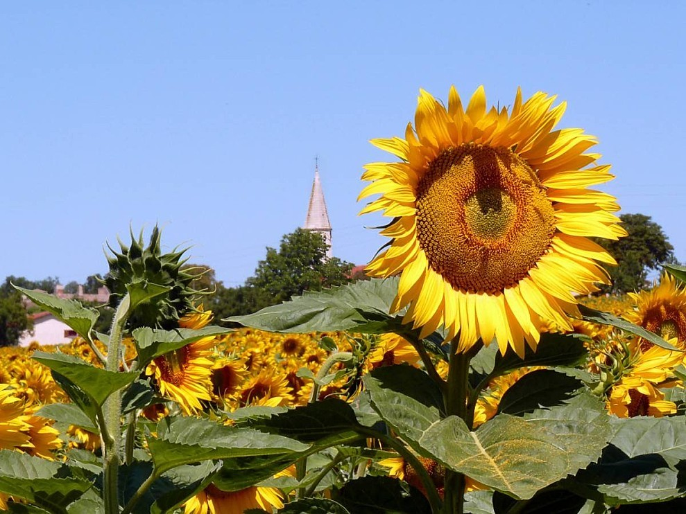 Tournesol-clocher.jpg