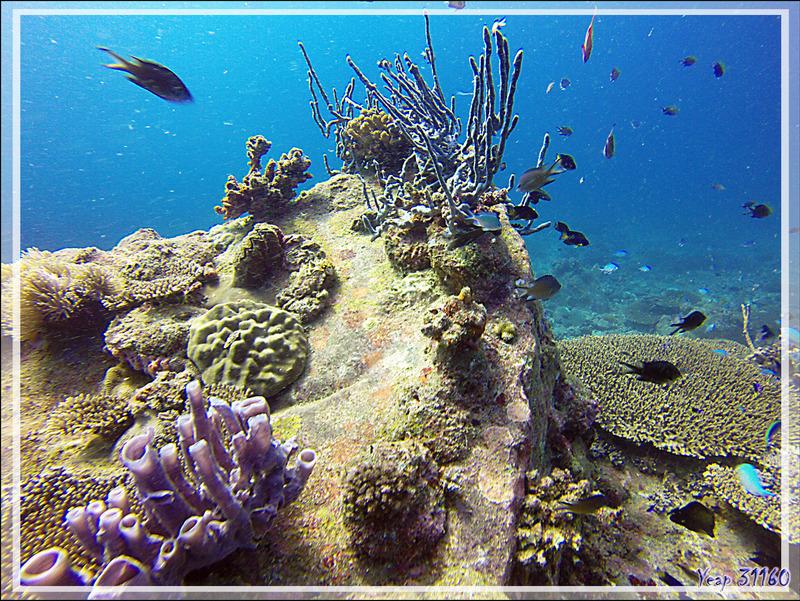 Éponge tubulaire Haliclone pâle, Colonial tube-sponge (Siphonochalina siphonella), Éponge corde à pores alignés, Row pore rope sponge (Aplysina cauliformis) - Nosy Mitsio - Madagascar