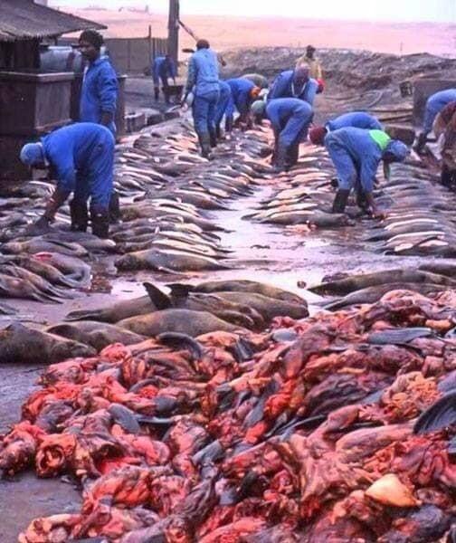 Chaque année, la Namibie massacre des dizaines des milliers d'otaries sur ses plages