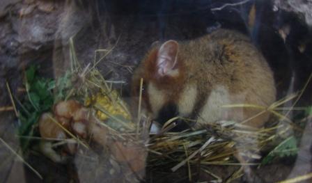 hamster géant alsace