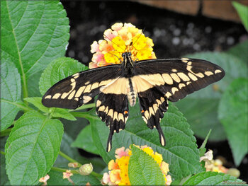 Photos de papillons tropicaux (Ile aux papillons - Nourmoutier)