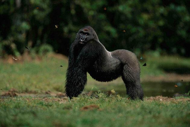 Gorille au garde-à-vous