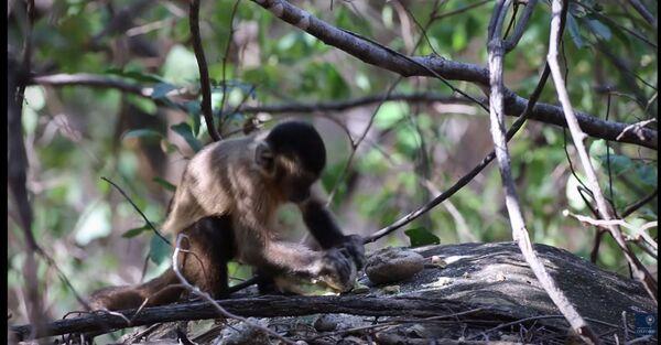 Un singe capucin, au Brésil, en train de casser des noix de cajou. Cette pratique est multiséculaire, affirment des chercheurs, et existait déjà il y a une centaine de générations. © University of Oxford, YouTube