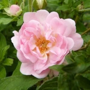 rosier petite françoise - juin 2014 (798x800)
