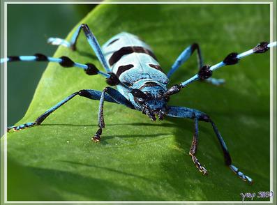 Un superbe longicorne (capricorne) : la Rosalie alpine ou des Alpes femelle (Rosalia alpina) - Lartigau - Milhas - 31