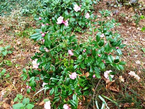 Camellia 'Ole'