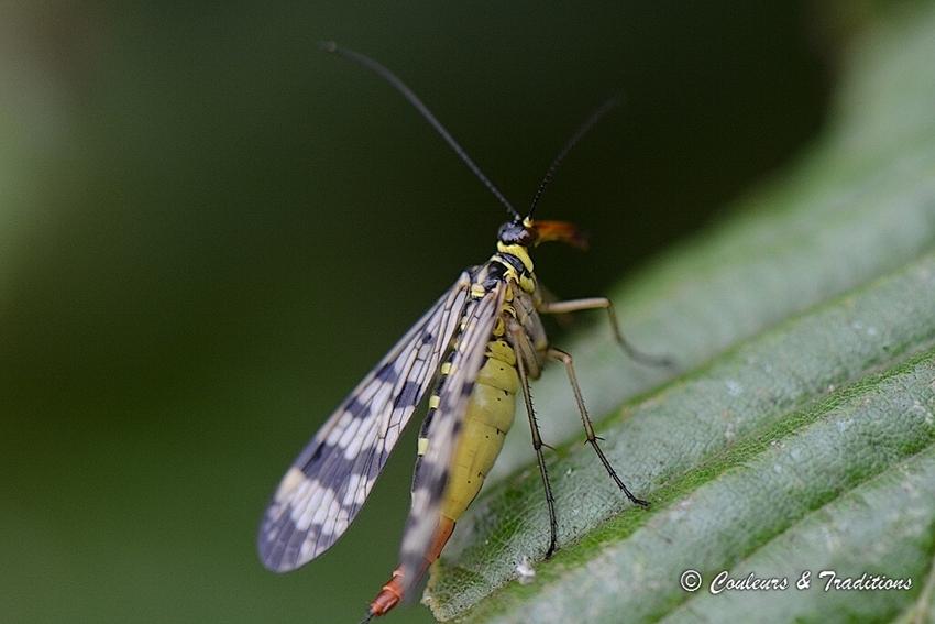 Panorpe - Mouche Scorpion