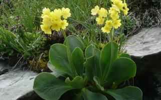 Fleurs des Aravis   fin juin-début juillet + sept.