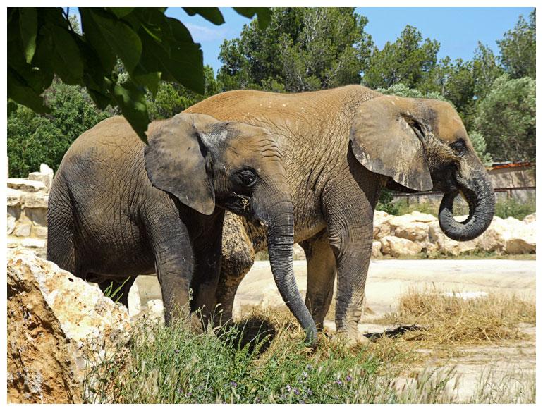 Jeune éléphant avec sa mère