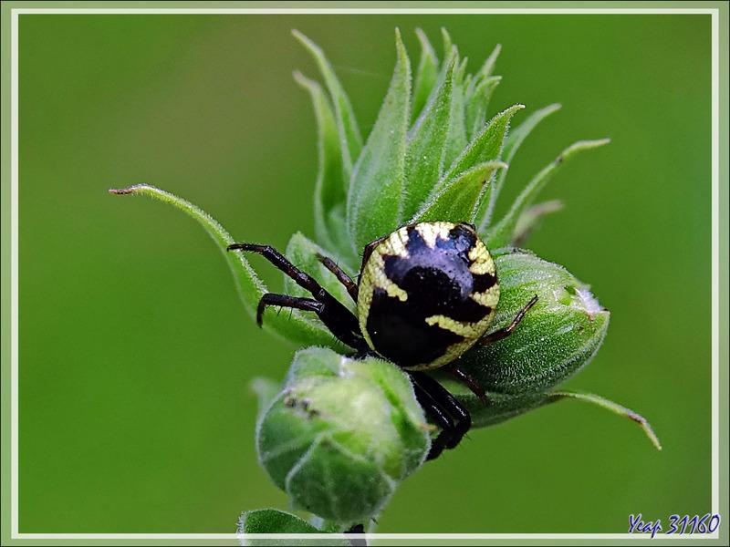 Araignée Thomise globuleuse, Thomise Napoléon, Napoleon spider (Synema globosum) femelle - Lartigau - Milhas -31