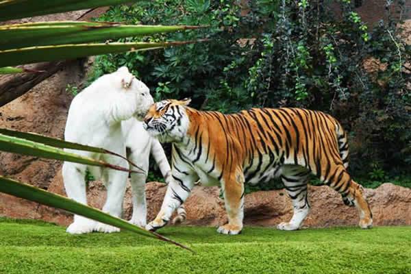 Couple de tigres du Bengale