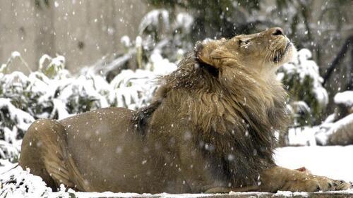 Lion neige