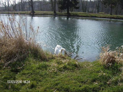 Cygne Saint Colombe