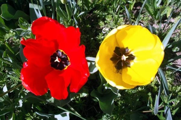 B4 - Tulipes