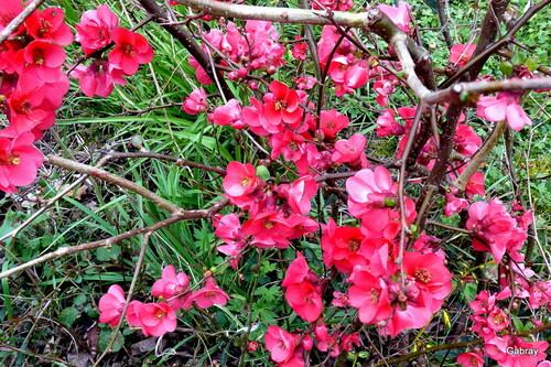 Fleurs de mon pommier du Japon